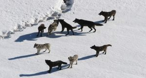 The Gibbon Wolf Pack in Yellowstone Park.