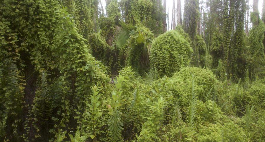 Invasive weeds taking over ecosystem