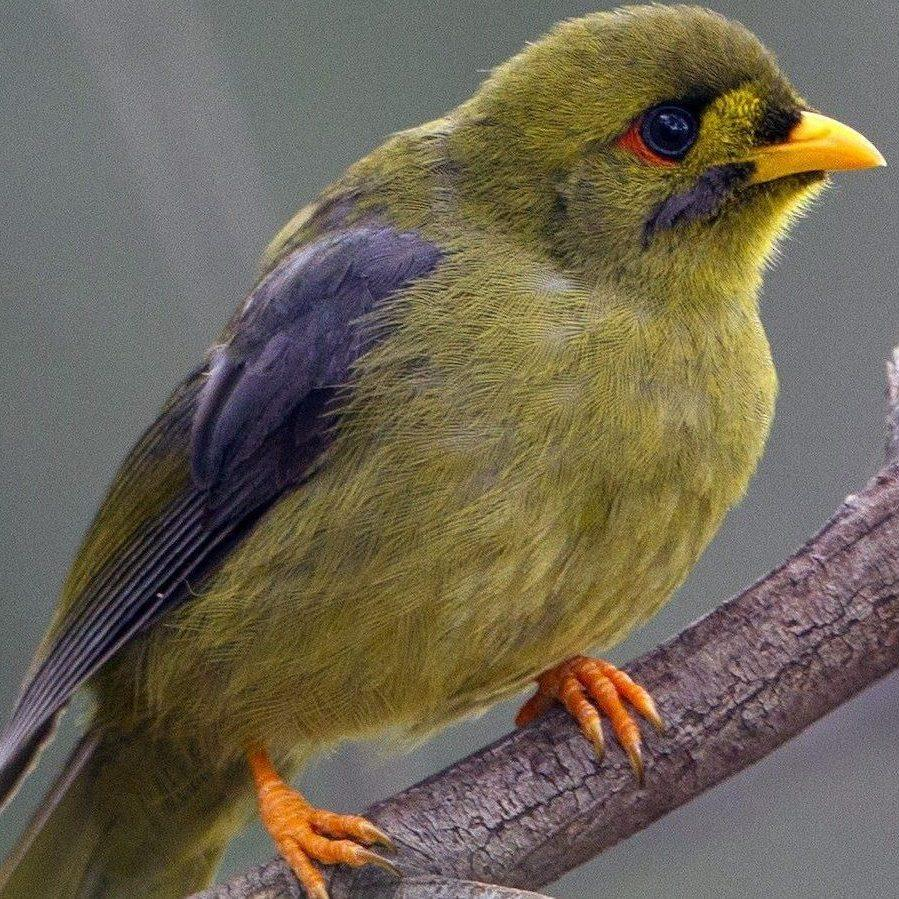 The Bell Miner. A native bird in Australian ecosystems, it has the potential to cause significant environmental damage to its own habitat with the help of an invasive plant.