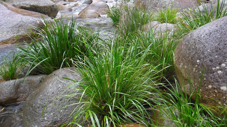 Lomandra stabilising creeks.