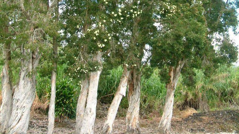 Australian native paperbark tree has become an invasive plant to everglade ecosystems in Florida.