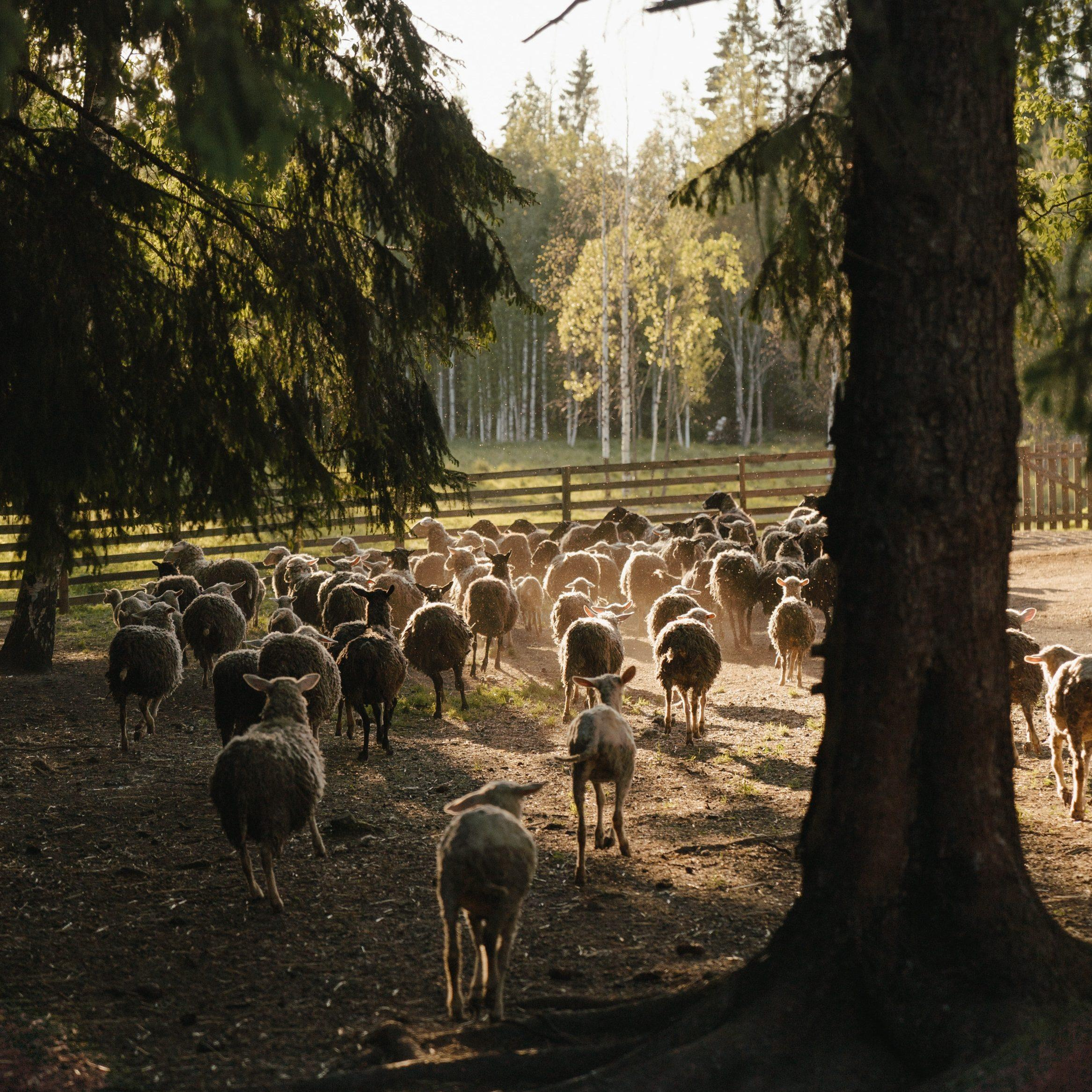 Silvopasture involves livestock sharing land with trees and other plants.