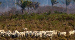 Cattle Ranching Amazon